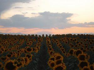 Sundown and sunflowers